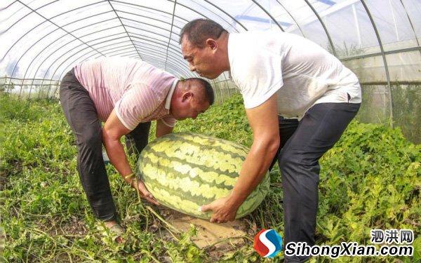 """泗洪县魏营镇种出139斤""""西瓜王"""""""